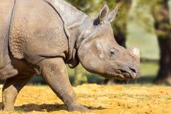 Rinoceros: hoofdschot Royalty-vrije Stock Fotografie