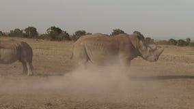 Rinoceros in Kenia stock footage