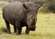 Rinoceros male grazing Stock Photography