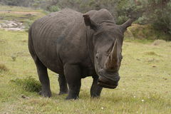 Rinoceros male grazing Royalty Free Stock Photography