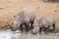 Rinoceros met een kalf Stock Afbeeldingen