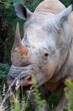 Rinoceros met hoornen Stock Afbeelding