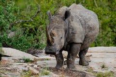 Rinoceros met omhoog hoofd stock foto's