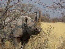 Rinoceros in Namibië Royalty-vrije Stock Foto's
