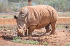 Rinoceros in nationaal park Stock Foto