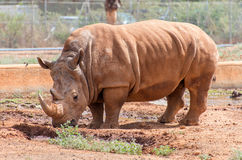 Rinoceros in nationaal park Stock Fotografie