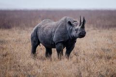 Rinoceros in Ngorongoro-Krater Royalty-vrije Stock Foto's