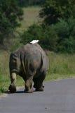 Rinoceros op de weg stock afbeelding