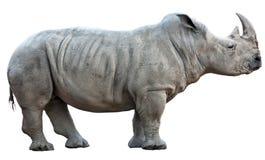 Rinoceros op Witte Achtergrond Stock Afbeelding