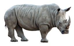 Rinoceros op Witte Achtergrond Stock Foto