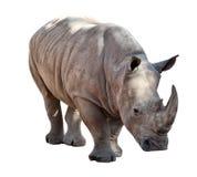 Rinoceros op Witte Achtergrond Stock Afbeeldingen