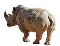 Rinoceros op Witte Achtergrond Stock Foto's