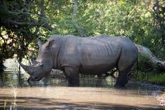 Rinoceros in Park Kruger Royalty-vrije Stock Fotografie