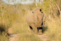 Rinoceros in platteland Stock Afbeelding