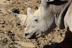 Rinoceros portrait Royalty Free Stock Image