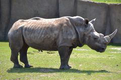 Rinoceros relaxing. Rhinos at Wildlands Emmen, relaxing in the sun royalty free stock photography