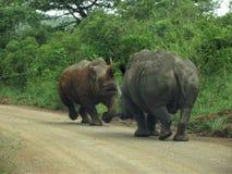 Rinoceros ` s in Hluweluwepark Stock Foto's