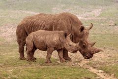 Rinoceros twee Royalty-vrije Stock Afbeeldingen