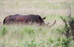 Rinoceros in Zuid-Afrika Stock Foto's