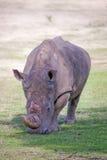 Rinoceros, Zuid-Afrika Royalty-vrije Stock Afbeeldingen