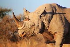 Rinoceros, Zwarte - Bedreigd Afrikaans Zoogdier Stock Foto