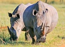 Rinocerosfamilie royalty-vrije stock fotografie