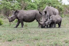 Rinocerosfamilie die zich bewegen stock foto's