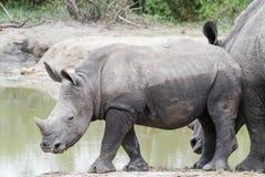 Rinoceroskalf die zich op de waterenrand bevinden in het park royalty-vrije stock foto's