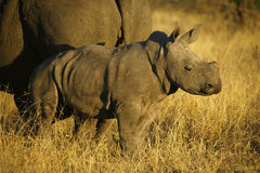 Rinoceroskoe en Kalf Stock Afbeelding