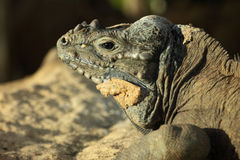 Rinocerosleguaan Royalty-vrije Stock Foto's