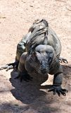 Rinocerosleguaan stock foto