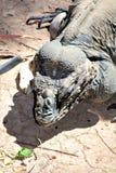 Rinocerosleguaan stock afbeelding