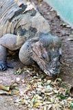 Rinocerosleguaan royalty-vrije stock afbeeldingen