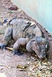 Rinocerosleguaan royalty-vrije stock afbeelding
