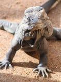 Rinocerosleguaan, Cyclura Cornuta, de Dierentuin van Phoenix, Phoenix, Arizona, Verenigde Staten royalty-vrije stock foto's