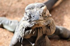 Rinocerosleguaan, Cyclura Cornuta, de Dierentuin van Phoenix, Phoenix, Arizona, Verenigde Staten stock fotografie