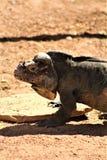 Rinocerosleguaan, Cyclura Cornuta, Phoenix, Dierentuin, Phoenix, Arizona, Verenigde Staten stock afbeeldingen