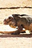 Rinocerosleguaan, Cyclura Cornuta, Phoenix, Dierentuin, Phoenix, Arizona, Verenigde Staten stock foto's