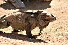 Rinocerosleguaan, Cyclura Cornuta, Phoenix, Dierentuin, Phoenix, Arizona, Verenigde Staten royalty-vrije stock foto