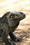 Rinocerosleguaan, Cyclura Cornuta, Phoenix, Dierentuin, Phoenix, Arizona, Verenigde Staten stock afbeelding