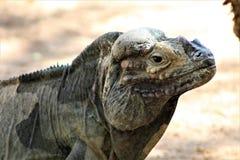 Rinocerosleguaan, Cyclura Cornuta, Phoenix, Dierentuin, Phoenix, Arizona, Verenigde Staten royalty-vrije stock foto's