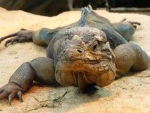 Rinocerosleguaan die uit de wereld bekijken royalty-vrije stock afbeeldingen