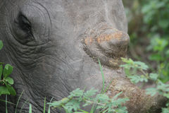 Rinocerosoog Stock Fotografie