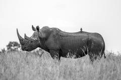 Rinocerosprofiel Stock Foto's