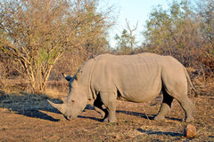 Rinocerosrinoceros Afrika Savannah Sunrise Royalty-vrije Stock Foto