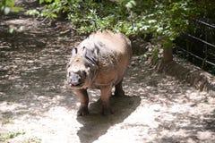 Rinocerosrinoceros in Gevangenschap royalty-vrije stock foto's