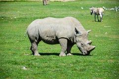 Rinocerossafari Royalty-vrije Stock Foto