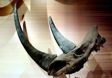 Rinocerosschedel en horne royalty-vrije stock foto