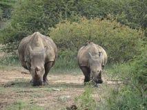 Rinocerossen 2 Royalty-vrije Stock Foto
