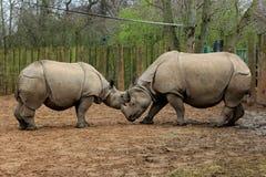 rinocerossen Royalty-vrije Stock Afbeelding
